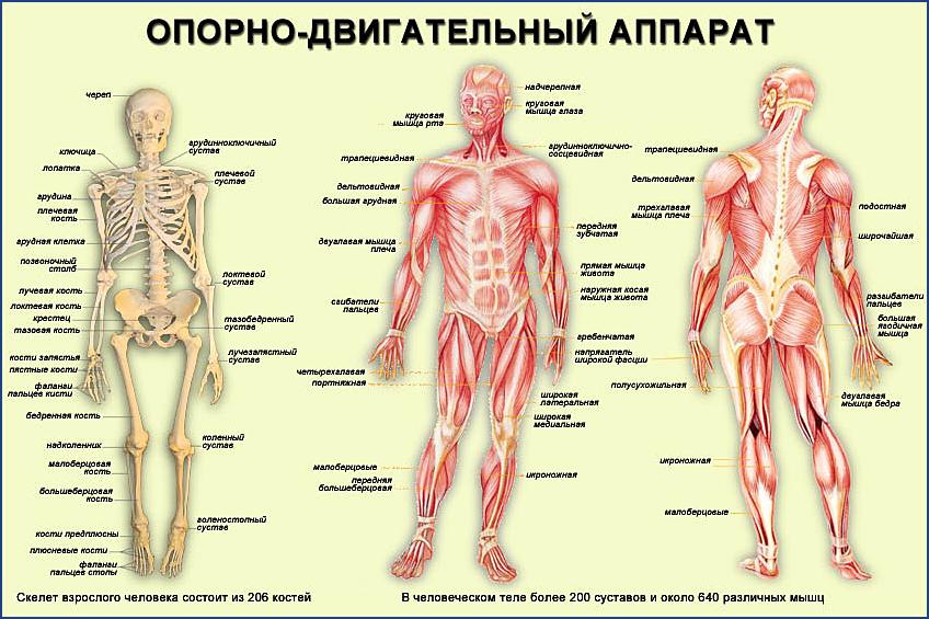 Профилактика заболеваний опорно - двигательного аппарта